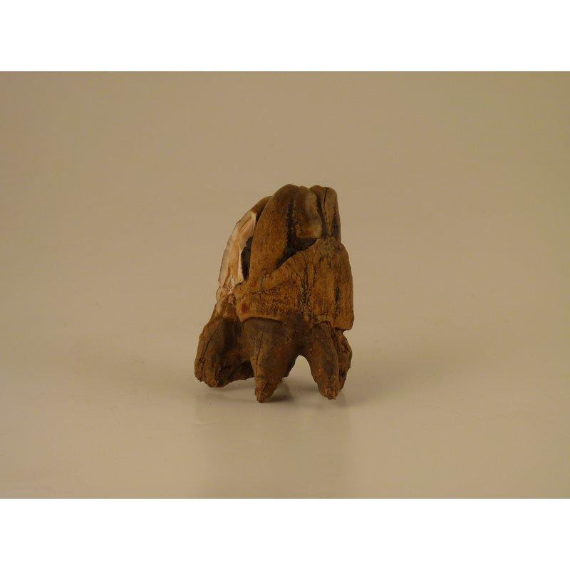Hippopotamus Tooth
